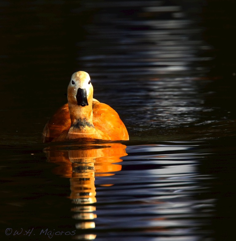 shelduck-moonlight.jpg