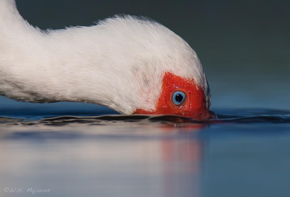 ibis-face.jpg